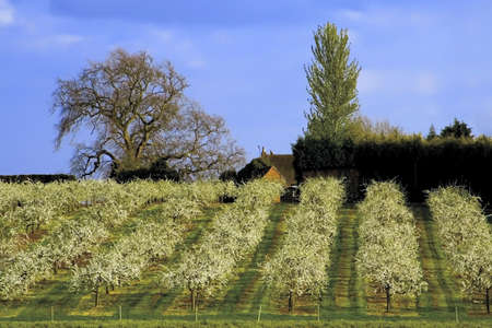 worcestershire: blossom apple orchards vale of evesham worcestershire Stock Photo