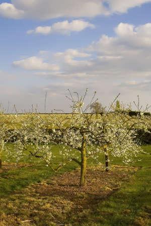vale: kwiat jabłka z sadów vale Evesham Worcestershire
