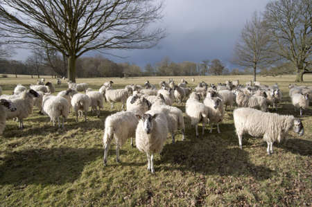 A herd of sheep, animals on farm illustrating farming, agriculture, wool, livestock and animals. Stock Photo - 2679429