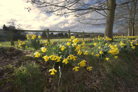 packwood: Yellow daffodil wild flowers growing wild in the countryside. Stock Photo