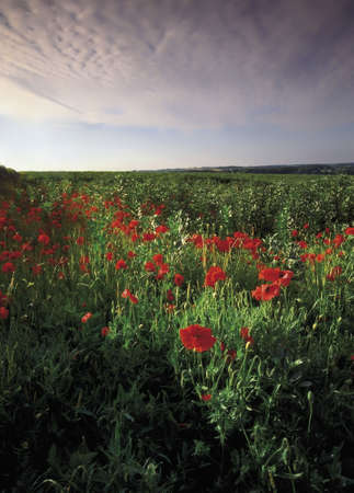 counties: Field of Poppies Farmland hertfordshire Home Counties England