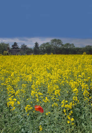 oilseed: poppy in field of oil-seed rape thatched cottage