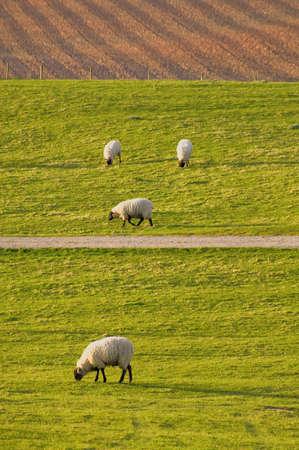 tardebigge: Farmland Tardebigge Worcestershire mostrando - pecore fattoria degli animali di allevamento di bestiame agricoltura lana animale