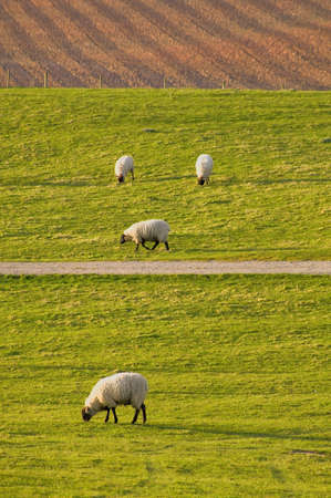 tardebigge: Farmland Tardebigge worcestershire showing - sheep animal farm farming agriculture wool livestock animal Stock Photo