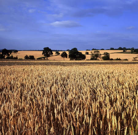 warwickshire: Field of Wheat Warwickshire Midlands England Stock Photo