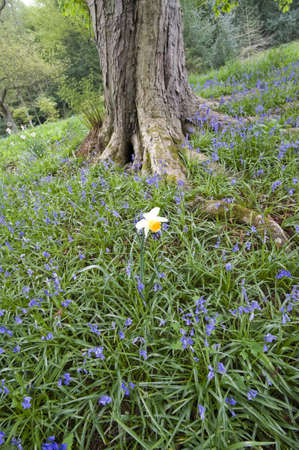 bluebells in wood green leaves trees behind - in the gardens of chatsworth  derbyshire photo