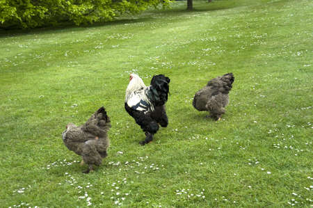 chatsworth: a bizzare chicken in the grounds of chatsworth  derbyshire negland uk Stock Photo
