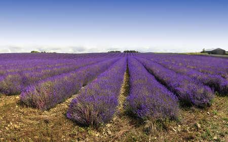 lavendin: france provence lavender fields  provence alpes du de haute provence  Stock Photo