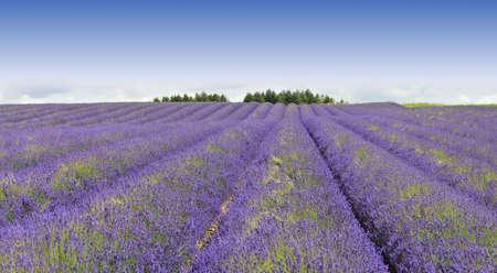 du ร    ก ร: france provence lavender fields  provence alpes du de haute provence  Stock Photo
