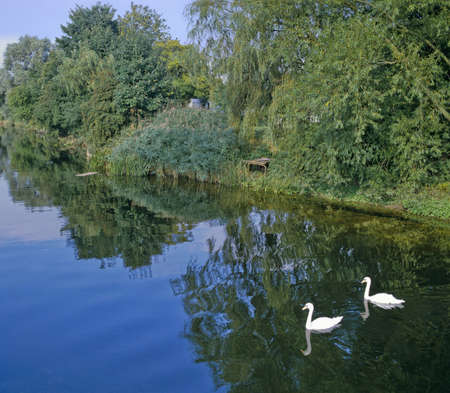ouse: swans on the river great ouse befordshire Stock Photo