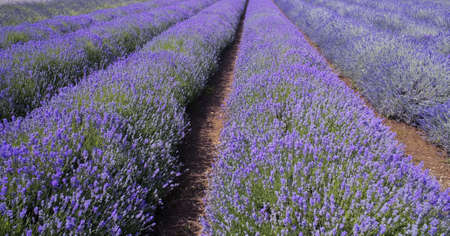 Alpes: france provence lavender fields  provence alpes du de haute provence  Stock Photo