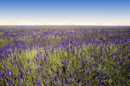 Alpes: france provence drome LAVENDER fields near valreas region provence alpes du de haute provence drome Stock Photo