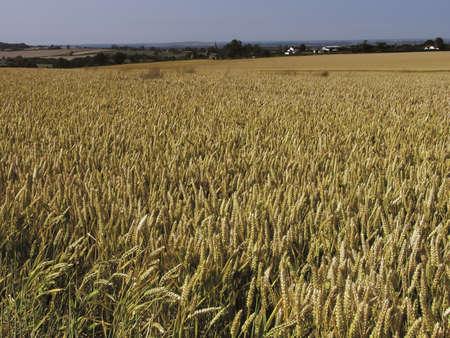 wheatfield: warwickshire. wheatfield. nr. coleshill.