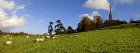 tardebigge: ovini fattoria degli animali di allevamento di bestiame agricoltura lana animale Archivio Fotografico
