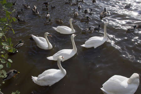 redditch: swans swimming on water
