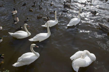 swans swimming on water photo