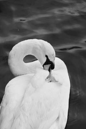 redditch: a swan swimming on water Stock Photo