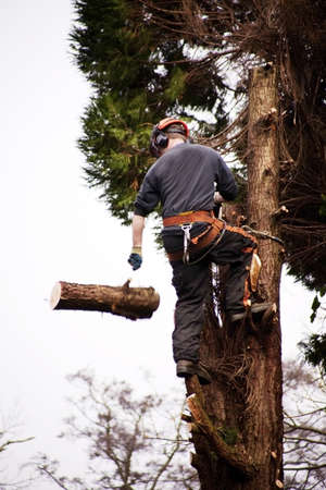 a tree surgeon chopping down a rotten tree Stock Photo