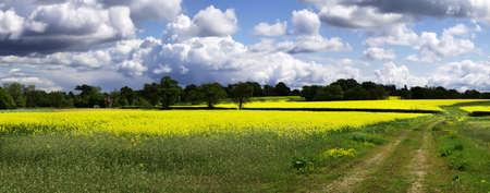 cash crop: A field of oil seed rape