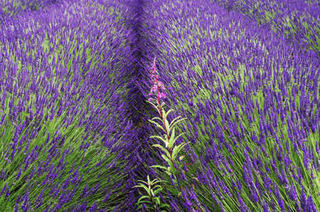 lavendin: france provence drome LAVENDER fields near valreas region provence alpes du de haute provence drome Stock Photo