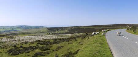exmoor: sheep on exmoor north devon Stock Photo