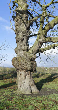 redditch: old trees in the arrow valley country park in redditch in the county of worcestershire, the midlands region of england in the uk