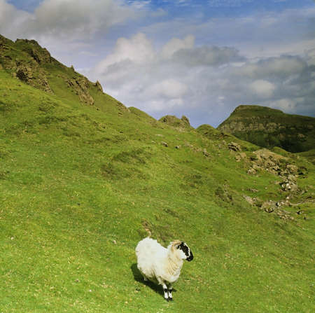 a sheep on the slopes of the quiraing - the isle of skye in Scotland, Great Britain UK photo