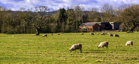 sheep in a field on a farm in the countryside photo