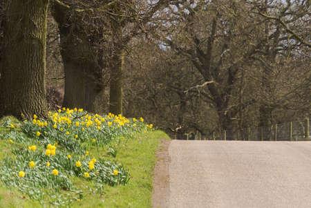 grass verge: Giallo daffodil crescente fiori selvatici nelle campagne