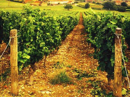 des vins: Vineyards in alsace  france