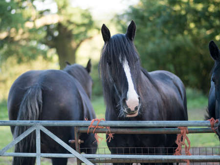 shire horse: shire horses in field countryside