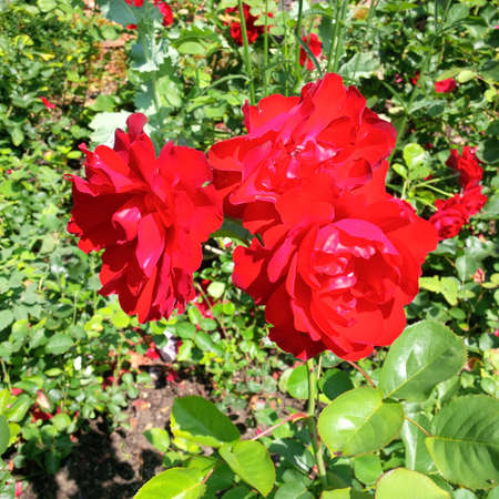 Red flowers at garden