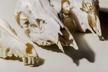cranium: animal skull cranium skeleton lab education zoology