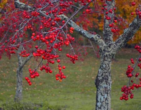 northeast ohio: Red berry tree taken after an Autumn rain at Sunny Lake Park in Aurora Ohio. Stock Photo