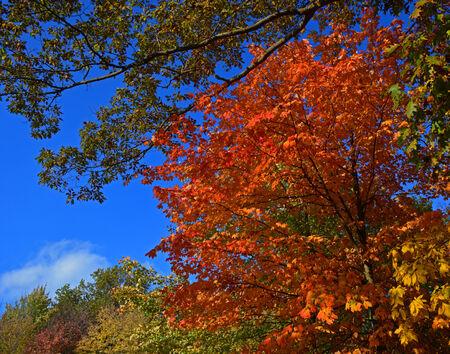 northeast ohio: Colorful orange leaves on Maple tree durring Autumn in Northeast Ohio