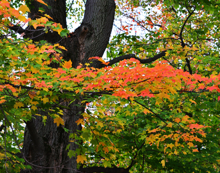 Colorful  Maple tree with bright ogange leaves and dark black tree trunk  Image captured in Ravenna Ohio just after a light rain