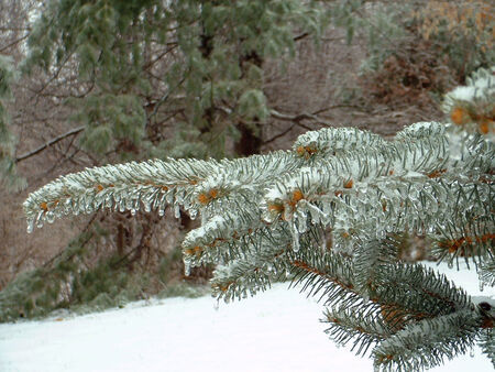 Ice on a Blue Spruce pine tree