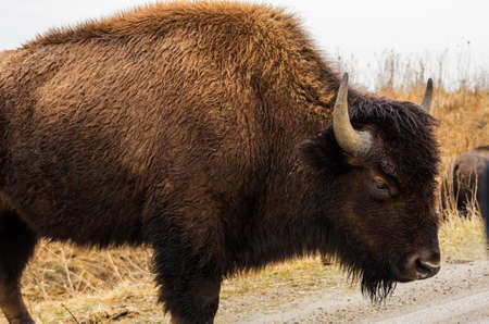 American bison (buffalo) at Neal Smith National Wildlife Refuge, near Prairie City, Iowa