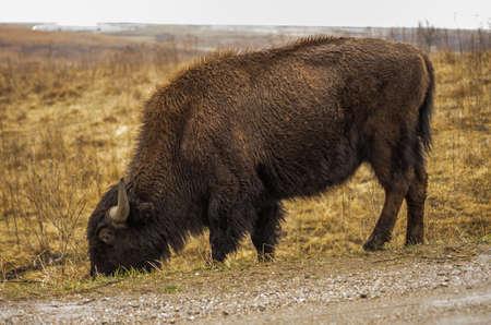 oklahoma: American bison (buffalo) at Neal Smith National Wildlife Refuge, near Prairie City, Iowa