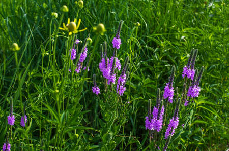 hoary: Hoary Vervain (Verbena Stricta) wildflower prairie garden Stock Photo
