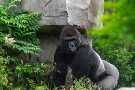 The western lowland gorilla is the smallest subspecies of gorilla Stock Photo