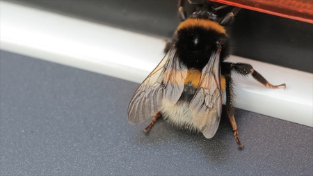 Macro view of bumblebee. White-Tailed wasp (Bombus lucorum). Wasp, macro video. Insects HD