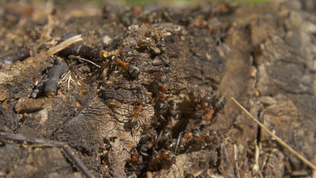Ants in nature. Teamwork: Black and Red Ants on Wooden Surface with Stones. ants marching on a branch Stock Photo