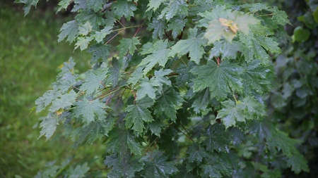 Rain in the forest. The trees stand in the rain in the yard. Leaves in the rain. Close up of water drops on fresh green leaves.The rain and water on the branches of trees. Leaves Stock Photo