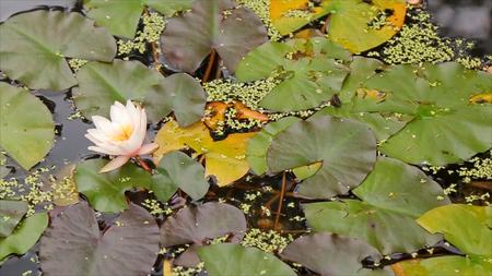 Mooie bloem en bladeren in moeras. Het moeras Lotus. Bloem en bladeren in meer. Groen moeras waar de plant drijft. Stockfoto - 87955824