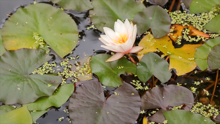 Beautiful flower and leaves in swamp. The swamp Lotus. Flower and leaves in lake. Green swamp where the plant floats.