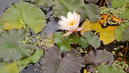 Mooie bloem en bladeren in moeras. Het moeras Lotus. Bloem en bladeren in meer. Groen moeras waar de plant drijft.