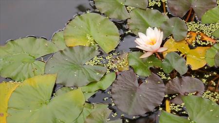 Mooie bloem en bladeren in moeras. Het moeras Lotus. Bloem en bladeren in meer. Groen moeras waar de plant drijft. Stockfoto - 87479943
