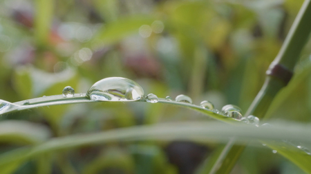 Big drops of dew on a grass. Big water drops on a grass