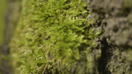 Old trees with lichen and moss in forest. Forest trees nature green wood. Moss on the tree in the forest. Closeup
